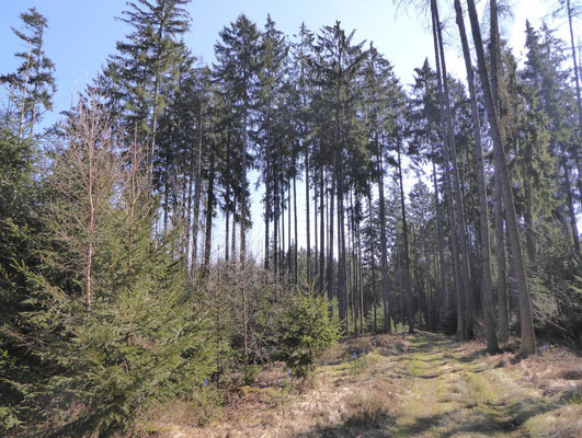 Waldweg im Dexenholz