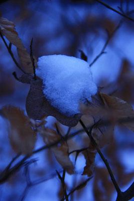 JANUAR 2017 _ Burkhard Neuer: Winterliche Details - Das welke Buchenblatt mit Schneehaube im blauen Licht winterlicher Kälte....
