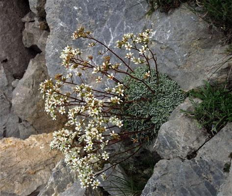 Krustensteinbrech-Saxifraga crustata am Monte Zermula - ein Endemit in den südöstlichen Kalkalpen