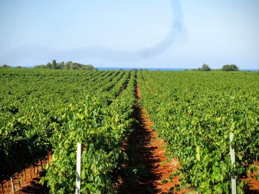 Weinfelder am Meer bei Novigrad