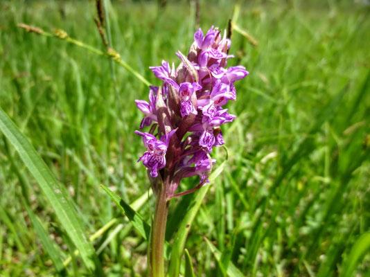 Helm-Knabenkraut - gehört zu den Orchideengewächsen