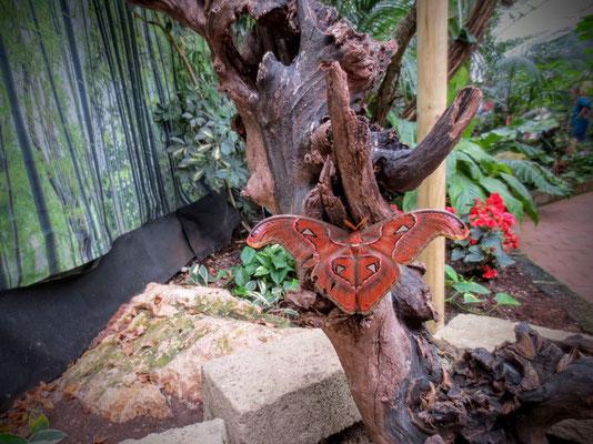 Der größte Schmetterling der Welt, der in Asien vorkommende Atlasspinner (Attacus atlas)