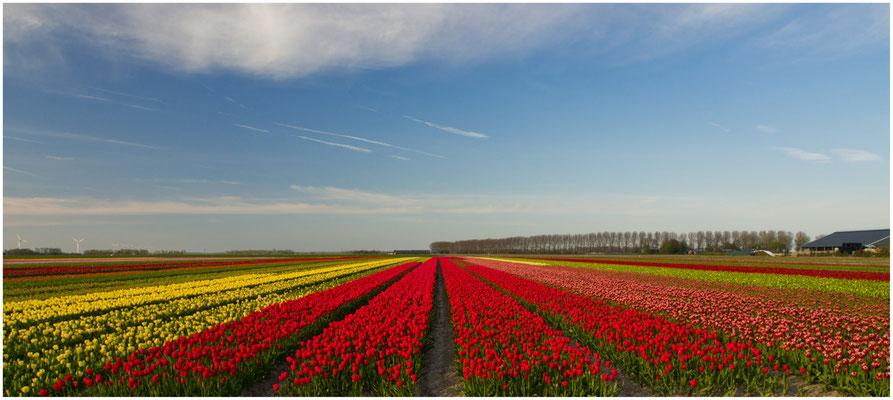 Tulpen aus Dronten