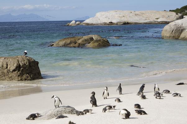Simon's Town - Boulders Beach - Südafrika