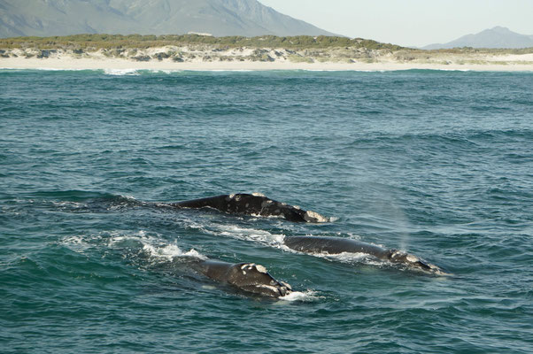 Walewatching - Hermanus - Afrika