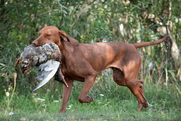 Vizsla bei der Jagdhundeausbildung bei Hunt & Hound