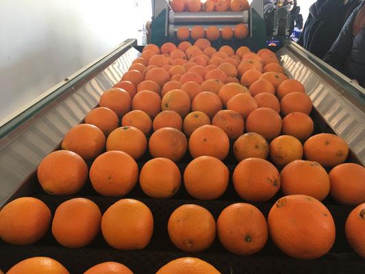 Orangen Export San Eusebio Carcaixent