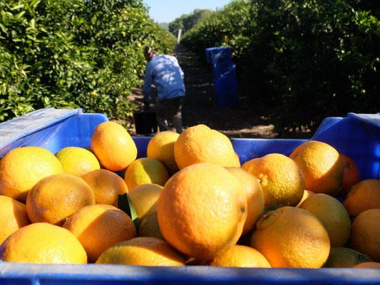 Ernte Orangenplantage Orangen