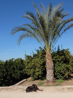 Hund Palme Orangenplantage