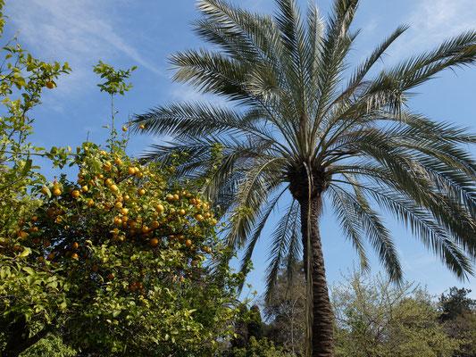 Palme Orangenbäume
