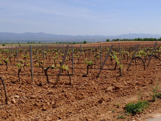 Wein Rebstöcke Trauben Bobal