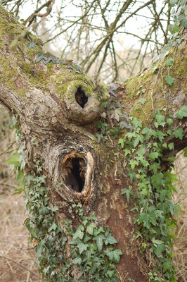 Höhlen in einem alten Baumstamm Foto: NABU Trebur