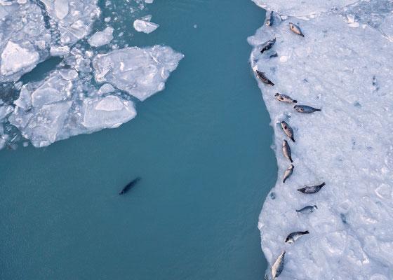 Seals - Iceland