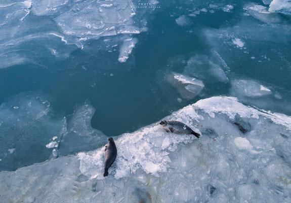 Seals -Iceland
