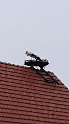 16. März: Libi mit Partner auf dem Nest in Ebsdorf - Foto: Marina Hauer