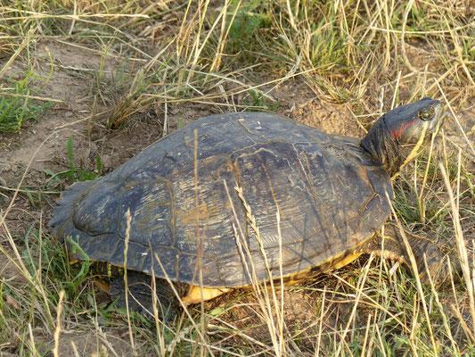 05.07.2015 Rotwangensumpfschildkröte an den BT Niederwalgern  - Foto: Stefan Wagner