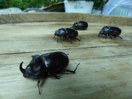 14.07.2015 Nashornkäfer - Vorkommen von bis zu 80 Larven in einem Garten der Gemeinde Fronhausen - Foto: Stefan Wagner