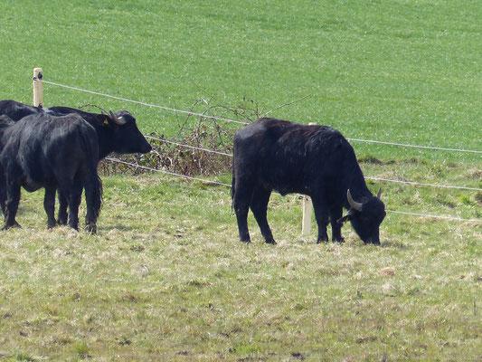 07.04.2015: Wasserbüffel an der Arlle bei Roßdorf - Foto: Stefan Wagner