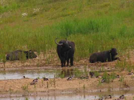 14.06.2015 Wasserbüffel am BT Niederwalgern - Foto: Daniela Schwarzer