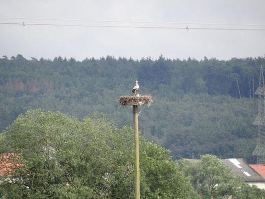 13.06.2016: Ein Altstorch kehrt nach erfolgreicher Beringung zurück zum Nest! - Foto: Winfried Krähling