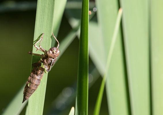Libellenlarve - Foto: Carsten Busse