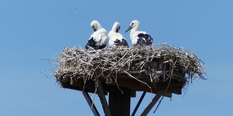 13.06.2015 Die drei Jungstörche im Nest - Foto: Stefan Wagner