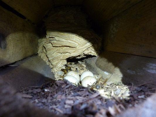 30.12.2015: 4-er Gelege des Steinkauzes  - im Hintergurnd füllt ein Hornissennest die Röhre fast vollständig aus. - Foto: S. Wagner