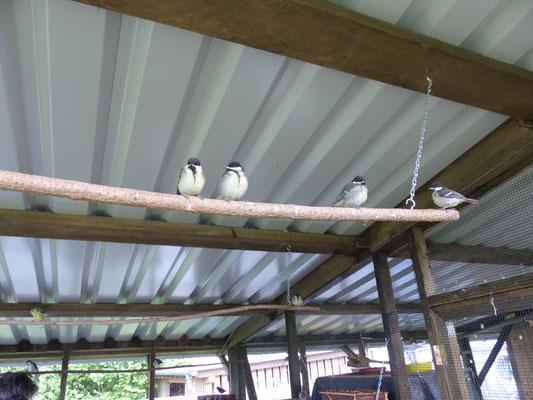 31.05.2016: Insgesamt 25 Pflegevögel betreut Frau Riehl zur Zeit: Kohlmeisen, Blaumeisen, Hausrotschwänze und Amseln. Foto: Stefan Wagner