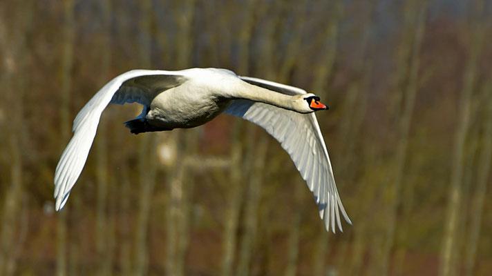 Höckerschwan im Flug - Foto: Werner Becker