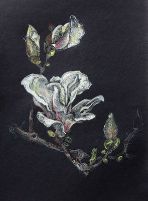 Magnolia, Kreiden