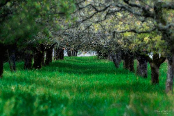 old apple trees in autumn