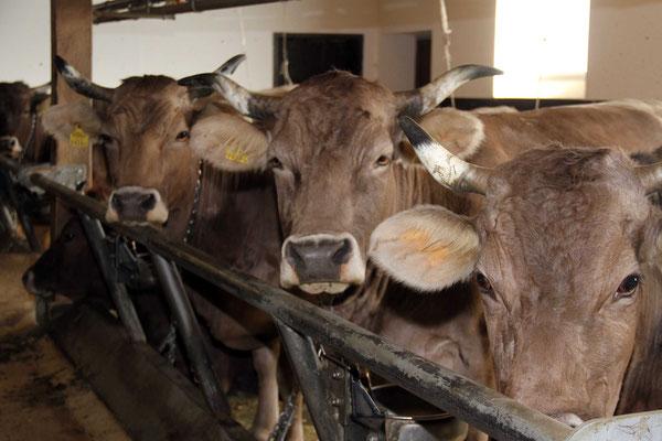 Innere Wiesalpe, Kleinwalsertal, Landwirtschaft, Tiere im Stall