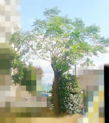 センダンの木 剪定後