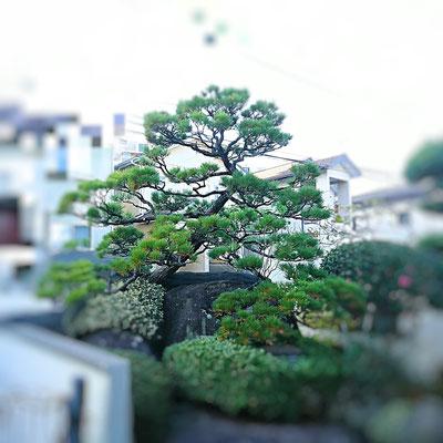 松 剪定(古葉むしり) Before