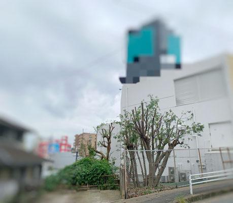 高木カシの木 強剪定② After