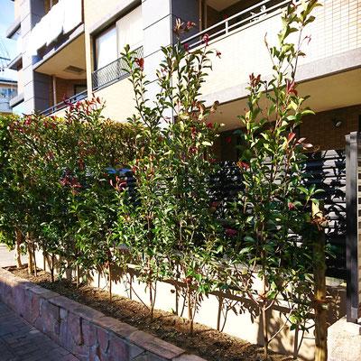生垣レッドロビン 植栽完了