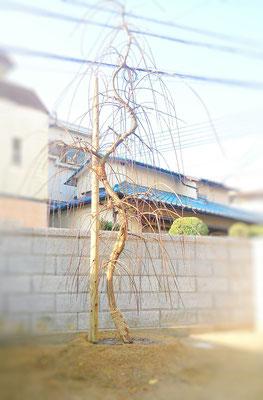 枝垂れ梅 植栽後