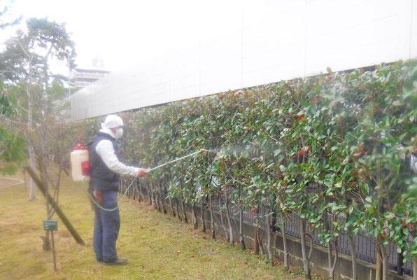 植木の殺菌剤散布中