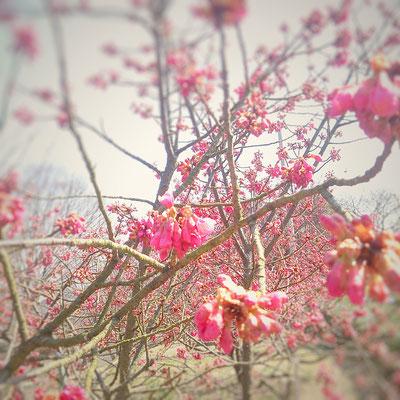 寒緋(カンヒ)桜