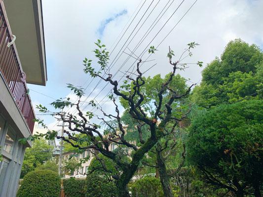 ウメの木 強剪定