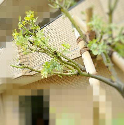 剪定後の枝先 1