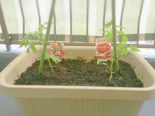 トマト・ミニトマト 植付 初日