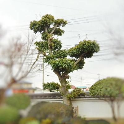高木カシ 段物 枝透かし剪定 Before