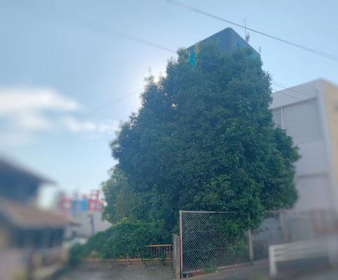高木カシの木 強剪定② Before