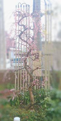満開過ぎた頃の枝垂れ梅