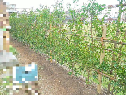 レッドロビン(ベニカナメモチ)植栽 After