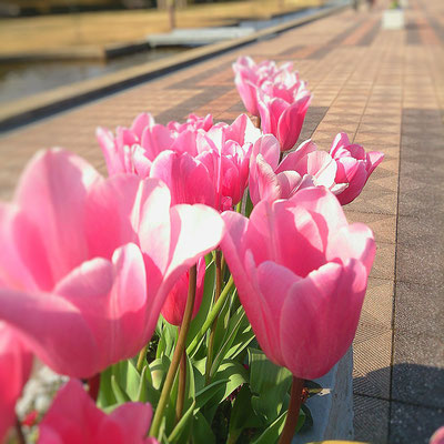 冬咲きチューリップ