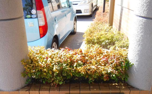 オタフクナンテン植栽2 After