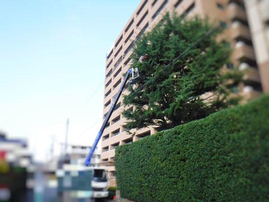 高木ヒマラヤスギの枝切り中