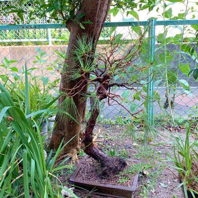 bonsai マツ After